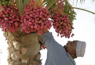 Oman & VAE Muskat Dattelpalme