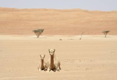 Oman Wahiba Sands Kamele