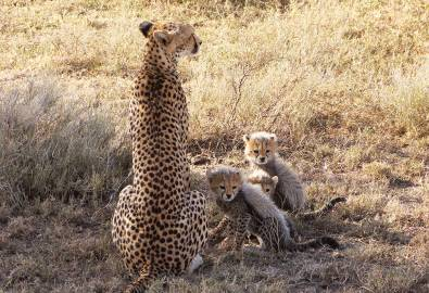 Tansania Gepard mit Jungen