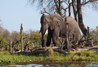 Botswana Elefant