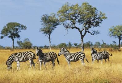 SA_Tiere_Zebras_2
