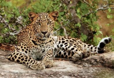 Sri Lanka Junger Leopard Yala Nationalpark