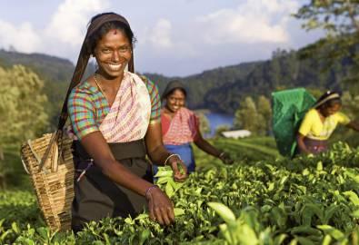 Sri Lanka Einheimische Tee-Pflückerin