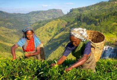 Sri Lanka - Teeplantage