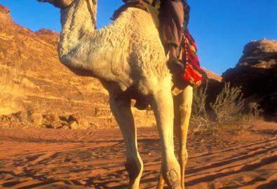 jordanie chameau wadi rum