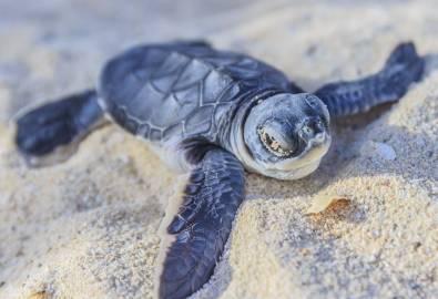 Baby Schildkröte Bentota