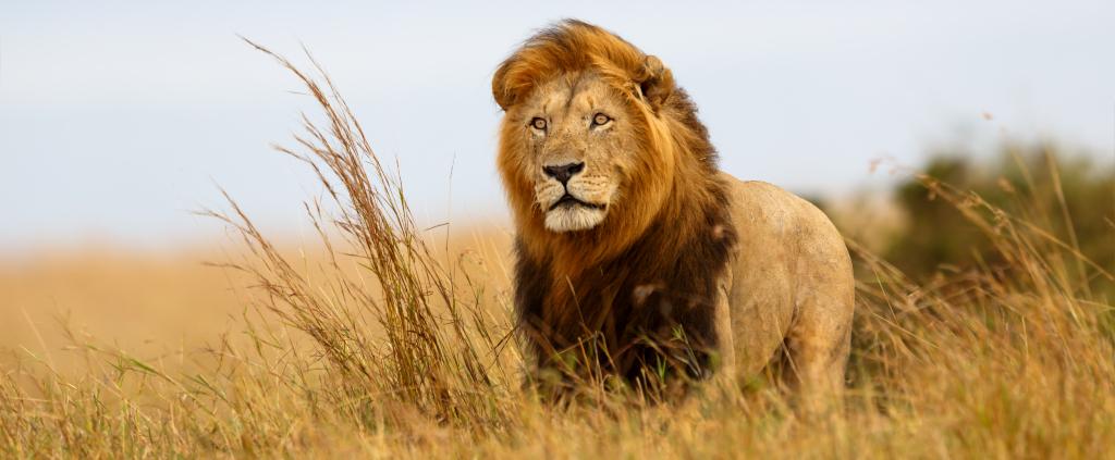Löwe Tansania