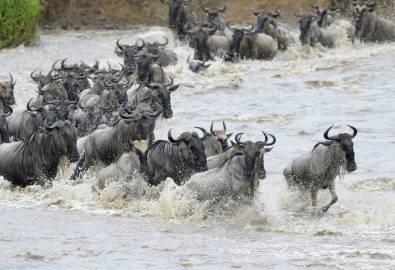 Gnus Mara River