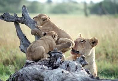 Tansania Serengeti Löwen