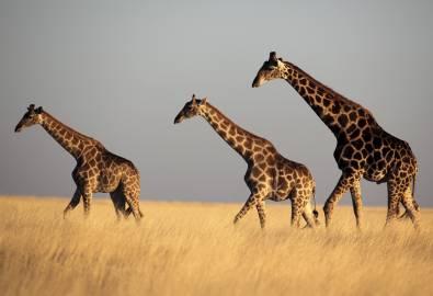 namibia-giraffen-iStock_000011352479XXLarge
