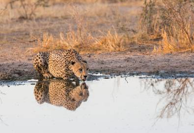 Botswana Gepard