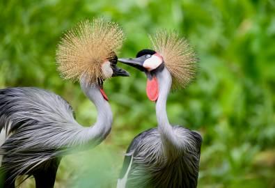 Uganda - Kronenkraniche