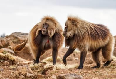 Äthiopien - Paviane