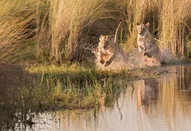Botswana - Löwen