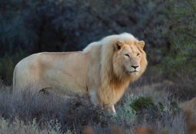 Sanbona weißer Löwe