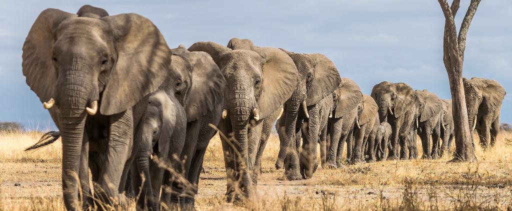 Elefanten Tansania
