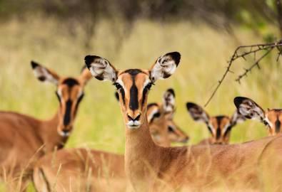 Namibia Springböcke