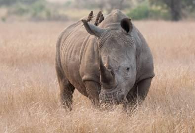 Südafrika Nashorn