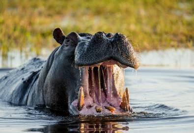 Botswana Flusspferd