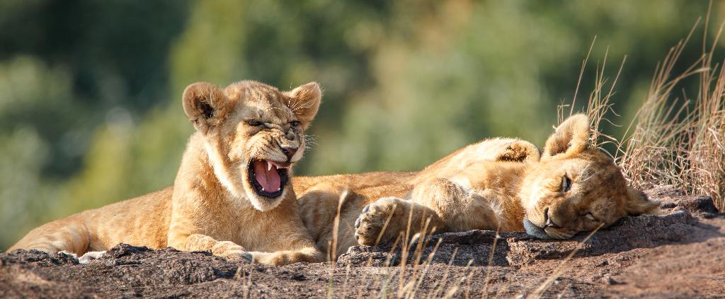 Löwen Südafrika