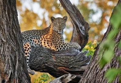 Botswana - Leopard