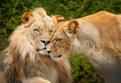 Südafrika - Löwen