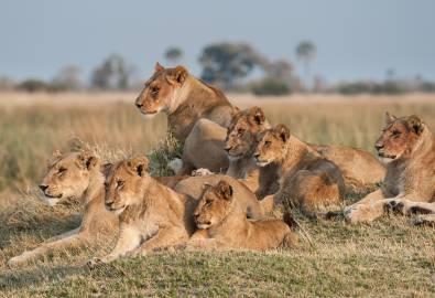 Löwen Botswana