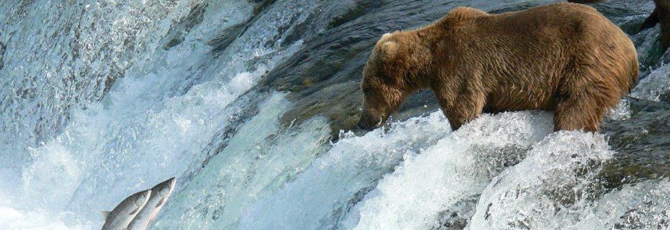 Alaska Bär