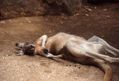 Australien Känguruh schlafend