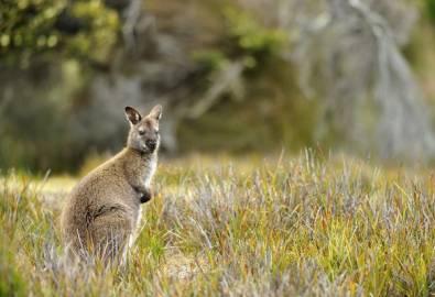 Australien Wallaby