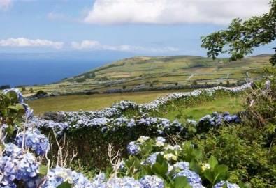 Azoren Faial Hortensien