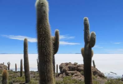 Bolivien Uyuni Kaktus