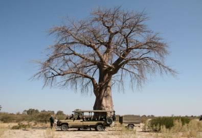 Botswana Baobab Baum