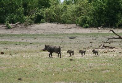 Botswana Warzenschweinfamilie