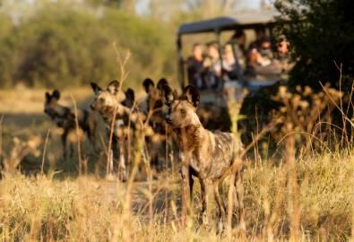 Botswana Wildhunde