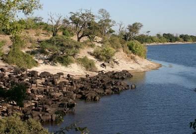 Botswana Buffalo Chobe River