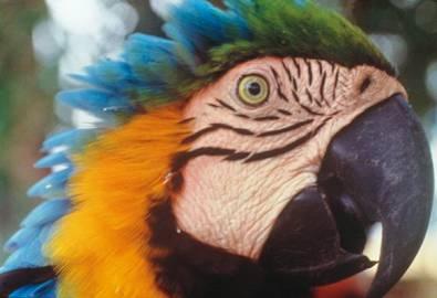 Brasilien Papagei