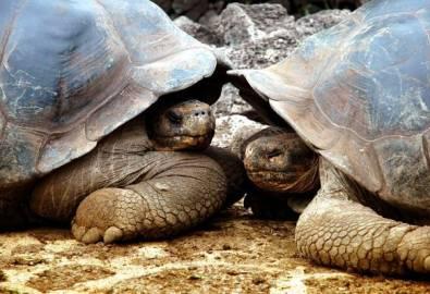 Ecuador Galapagos Riesenschildkröten