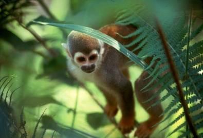 Ecuador Regenwald Totenkopfäffchen