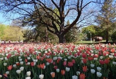 Kanada Ottawa Tulpenblüte