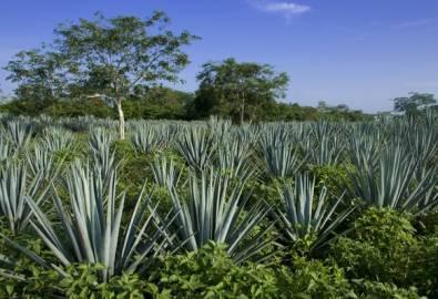 Mexiko- Agaven-Anbau für Tequila