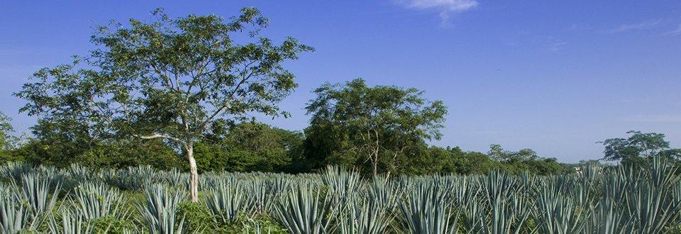 Mexiko Agaven Anbau