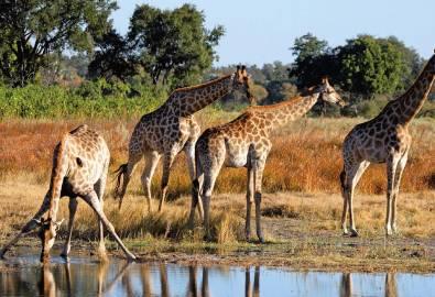 Namibia Botswana Victoria Falls Girafen
