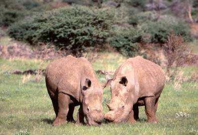 Namibia Breitmaulnashorn