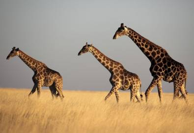 Namibia Giraffen