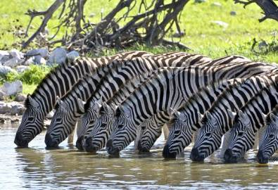 Namibia Zebras trinken