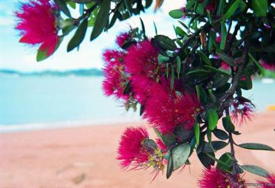 Neuseeland Bay of Islands-Strand Blumen
