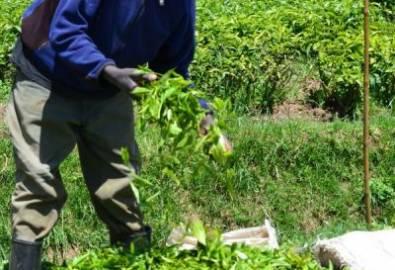 Ruanda Teepflücker