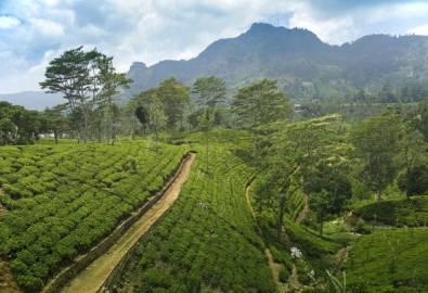 Sri Lanka Teeplantage Nuwara Elliya