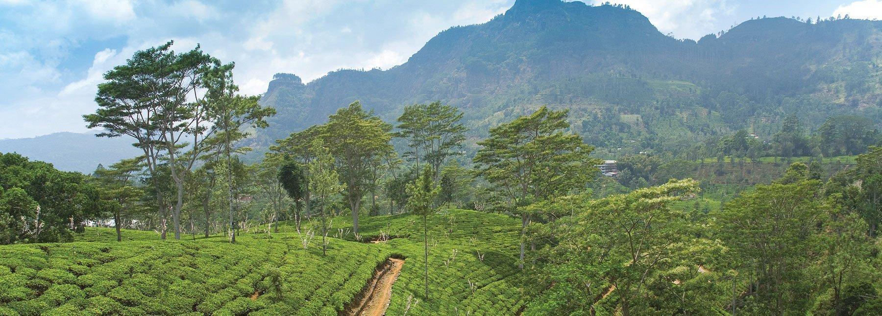 Sri Lanka Teeplantage Hochland